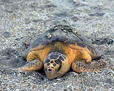 Animali calabria tartaruga caretta caretta depone le for Incubazione uova tartaruga