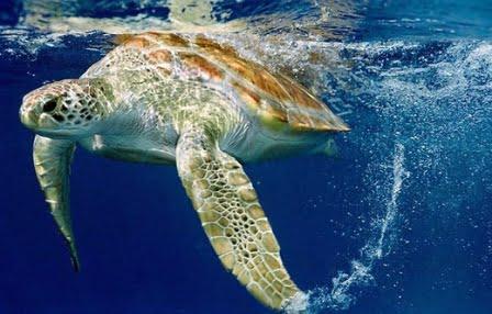 La tartaruga marina torna a nidificare anche nelle coste for Incubazione uova tartaruga