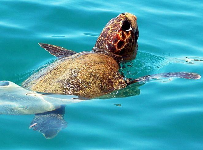 Calabria liberate in mare due tartarughe caretta caretta for Tartarughe di mare domestiche