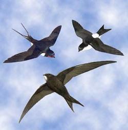 Animali Il Rondone Può Volare Per 200 Giorni Senza Mai Atterrare