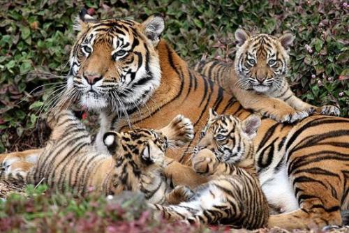 Le tigri di sumatra meteo web for Disegni di tigri da colorare