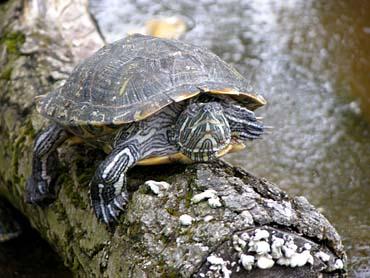 sul trasimeno il primo rifugio per le tartarughe d acqua