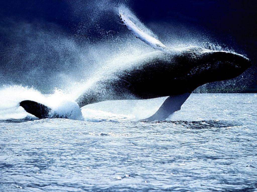 Mammiferi marini ecco le aree in cui vivono meglio non c - Foto di animali dell oceano ...
