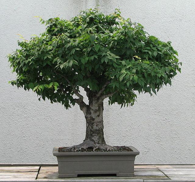 Il bonsai un alberello che ti tiene compagnia meteo web for Tipi di bonsai