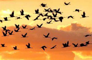 uccelli_migratori