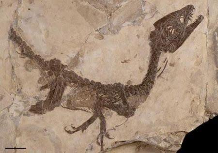 http://www.meteoweb.eu/wp-content/uploads/2011/12/dinosauro-ciro-fossile.jpg