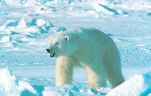 orso-polare