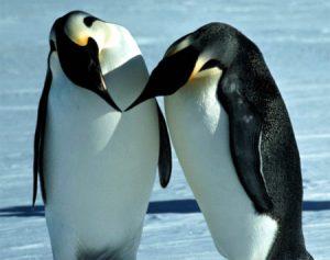 Pinguini coppia