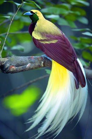 Rare Birds Of Paradise La Papua Nuova ...