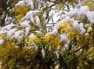 mimosa con la neve2