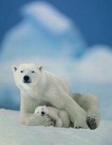 orso-polare-nature-rischio-estinzione-foto-01