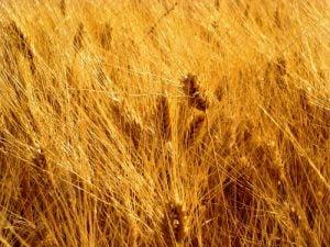 Fabriano-spighe-di-grano-a22599095