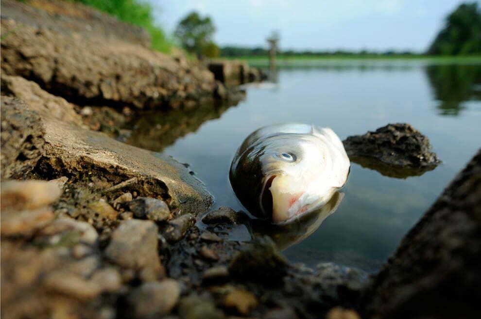 I pesci d 39 acqua dolce si stanno estinguendo molto for Pesci acqua dolce commestibili