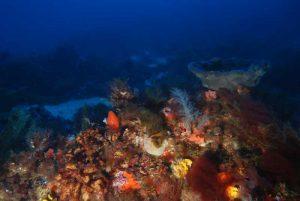 Corallo-molle-alcionaceo_Alcyonium-spinulosum,-Spugna-a-calice