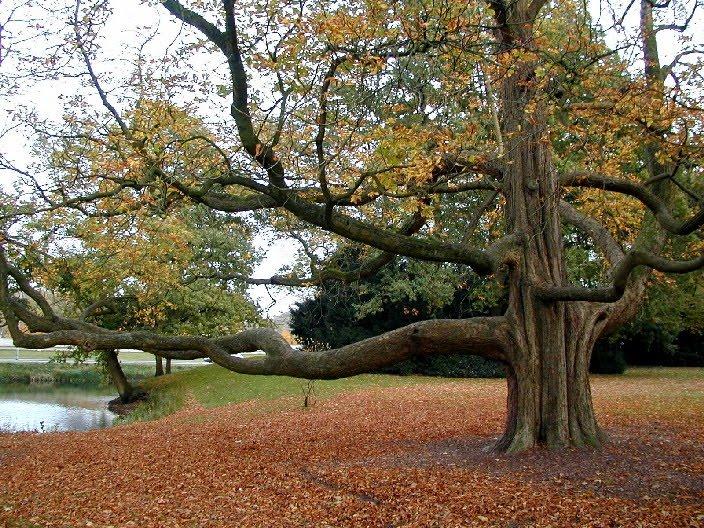 In italia ci sono alberi di particolare interesse per il valore storico naturalistico - Alberi bassi da giardino ...