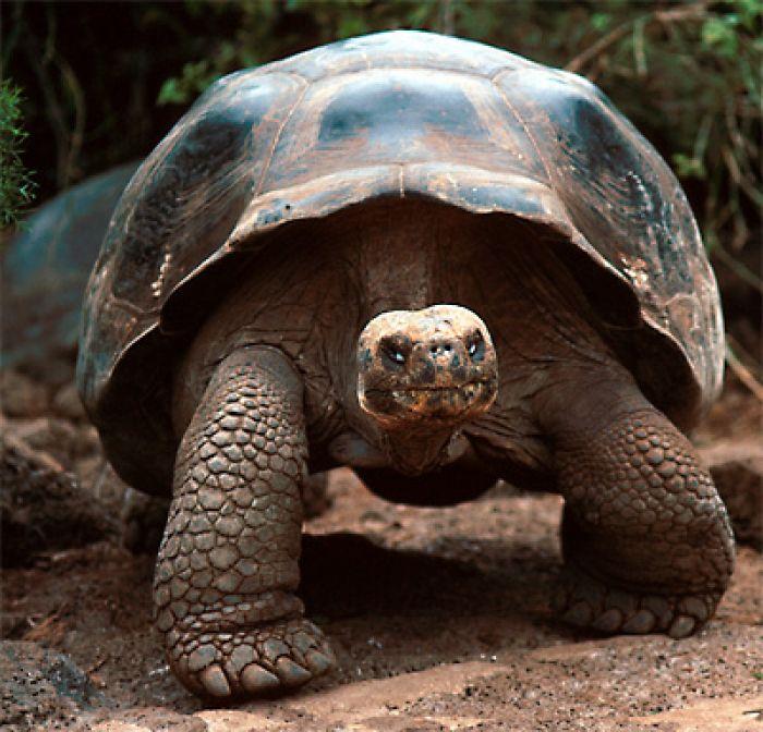 animali ecco come migrano le tartarughe giganti delle
