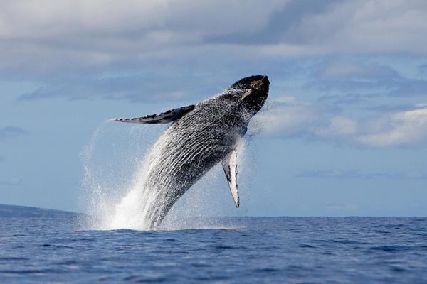 Antartide boe acustiche per svelare i segreti delle - Foto di animali dell oceano ...