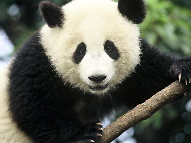Animali I Panda Hanno Un Innata Propensione Per I Dolci