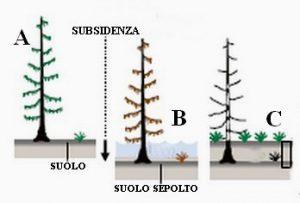 """Figura 5. Come nasce una """"foresta fantasma"""". A: situazione iniziale, con l'albero in salute. B: la subsidenza provoca l'abbassamento del suolo e lo tsunami invade l'area, seppellendo parzialmente l'albero. La salinità del terreno aumenta anche a seguito di susseguenti maree che invadono la zona, abbassata rispetto a prima causa la subsidenza. C: la variazione dell'habitat comporta la morte dell'albero di cui rimane solo il tronco scheletrico, con il suolo rialzato per gli apporti terrigeni dal mare. Nel sottosuolo rimangono evidenze di ingressione marina come livelli di tsunamiti e resti di vegetali. Nel caso della Cascadia, l'analisi degli anelli di accrescimento degli alberi indica come data della morte il 1700 (da Atwater et alii, 2005, modificata)"""
