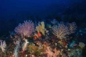 Underwater shoot in the Sicilian ChanelUn arcobaleno in fondo al mare (Alcionacei_ Alcyonium spinulosum, Alcyonium palmatum )