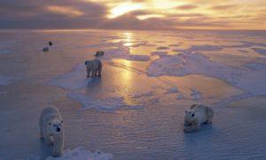 Polar-Bears-on-Ice-Pack-a-001