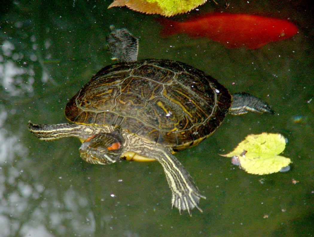Gorizia testuggine rilasciata nella palude del preval for Tartaruga di palude