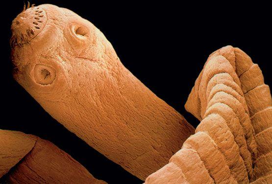 Che trattare vermi polmonari