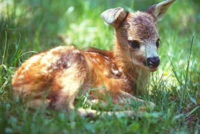 Animali caprioli a rischio a causa delle primavere for Capriolo animale