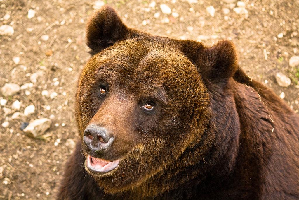Animali a tu per tu con l 39 orso ecco i consigli in caso for Affittare una cabina nel grande orso