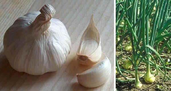Salute le miracolose propriet dell 39 aglio tra storia for Aglio pianta