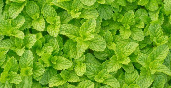 ازاي ازرع نعناع اخضر في البيت كيفية زراعة النعناع في المطبخ