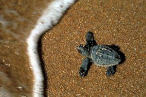 Caretta caretta, Tartaruga marina, piccolo, nascita, MEDITERRANEO