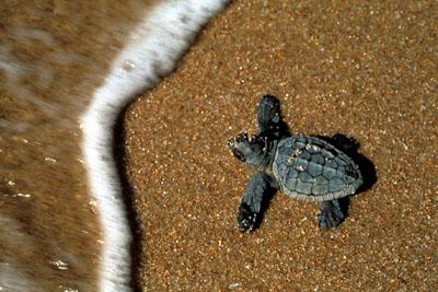 Animali schiuse 22 uova di tartaruga caretta caretta nell for Tartarughe di mare domestiche