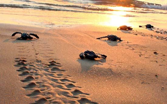 Grosseto 22 piccoli di tartaruga caretta caretta nati for Piccoli piani cottage sulla spiaggia