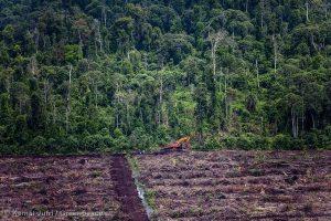 Peatland Palm Oil Plantation in Riau