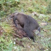 orso_ucciso