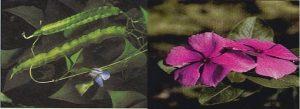 Fig.3 - Fagiolo alato delle Filippine (a sinistra) e fiore di Pervinca (a destra)