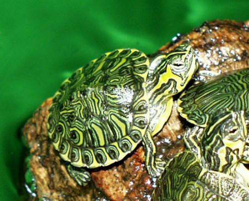 Salute le tartarughe d 39 acqua dolce possono trasmettere la for Tartaruga acqua dolce razze