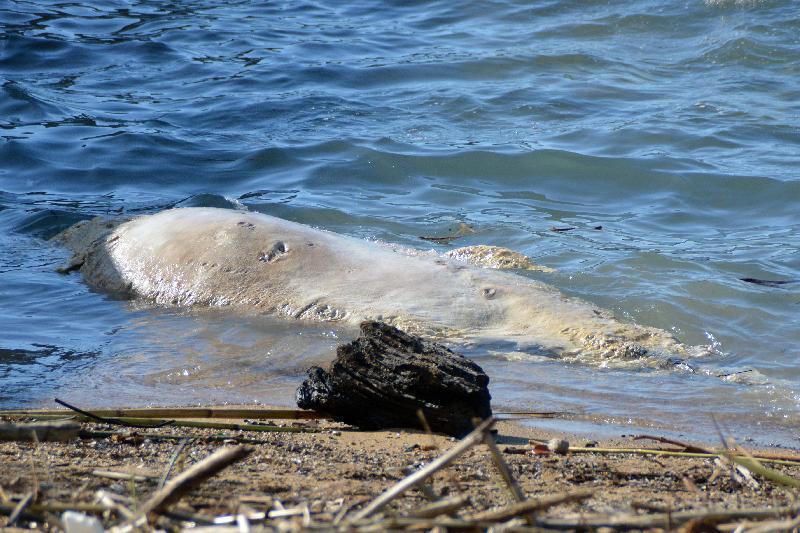 Livorno, cucciolo di capodoglio spiaggiato sul lungomare [FOTO ...