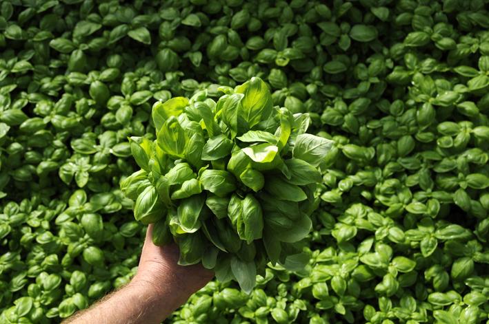 La storia del basilico una pianta ricca di superstizioni for Una storia a pianta aperta