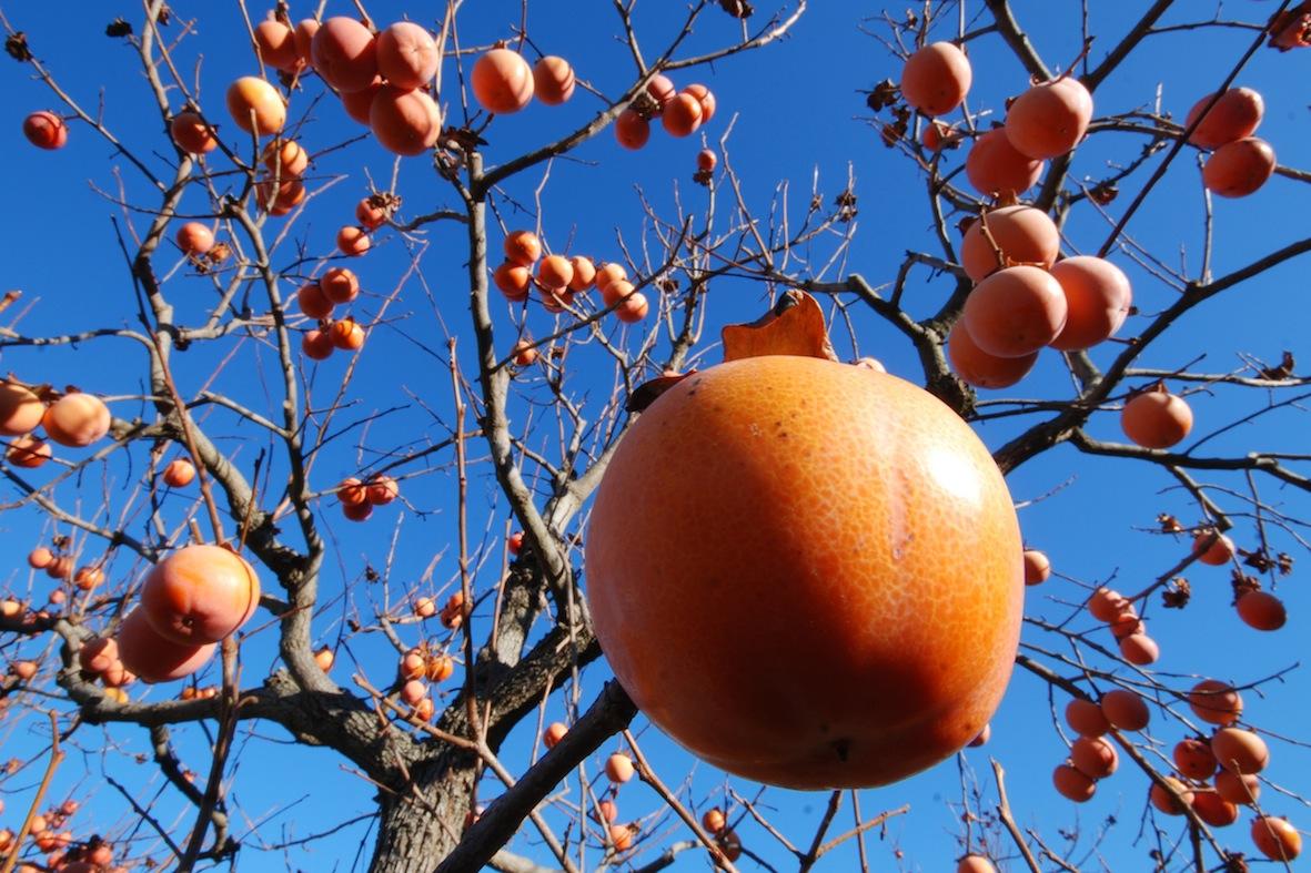 Cachi le propriet benefiche dell 39 albero della pace e del for Albero di cachi