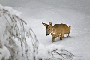 Roe Deer (Capreolus capreolus) in deep snow