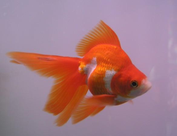 Animali scoperte le origini del pesce rosso a doppia coda for Carpa pesce rosso