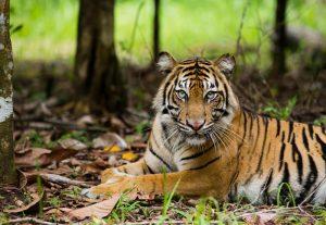 Sumatran Tiger in Tambling Wildlife Nature Conservation