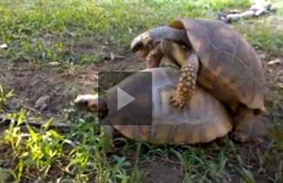 L 39 incredibile audio delle tartarughe che fanno l 39 amore con for Lago tartarughe