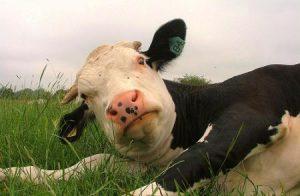 morbo-mucca-pazza