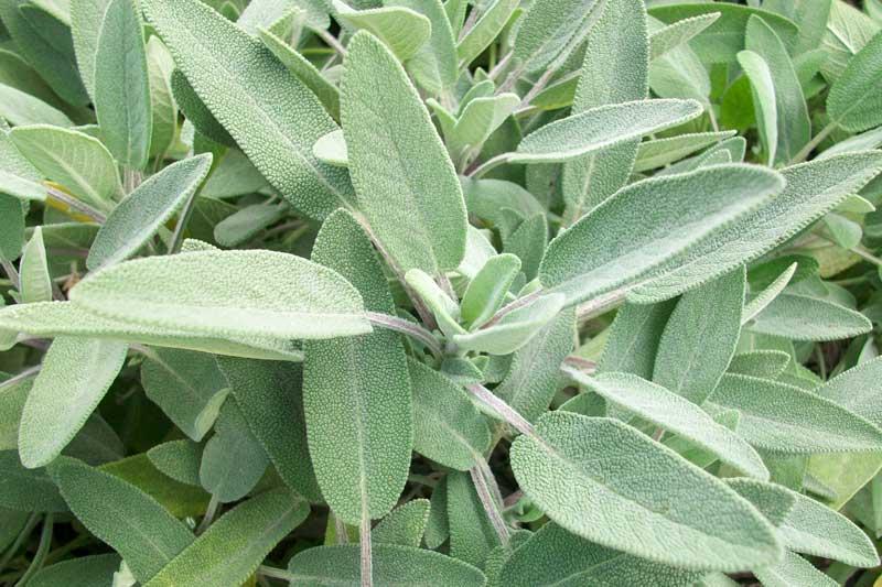 Salvia le sorprendenti virt benefiche di una pianta amatissima nella storia considerata sacra - Piante camera da letto ...