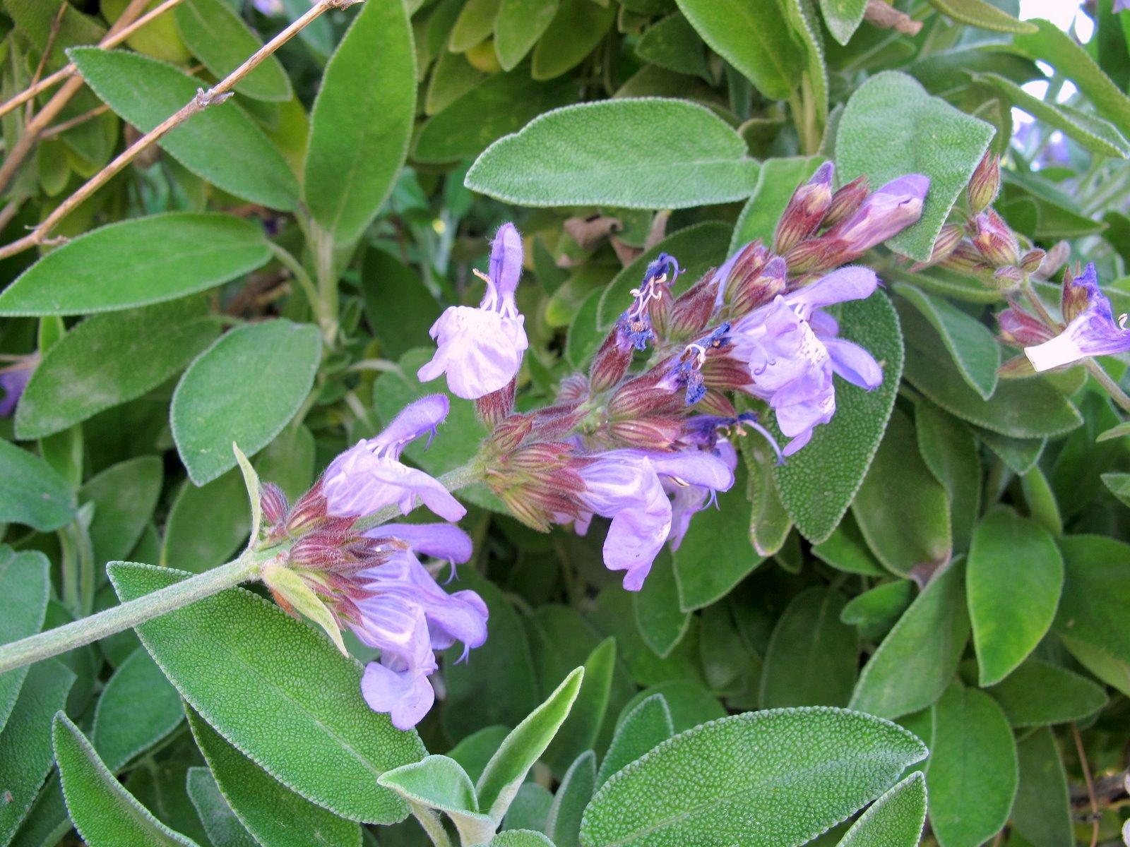 Salvia le sorprendenti virt benefiche di una pianta for Una storia a pianta aperta
