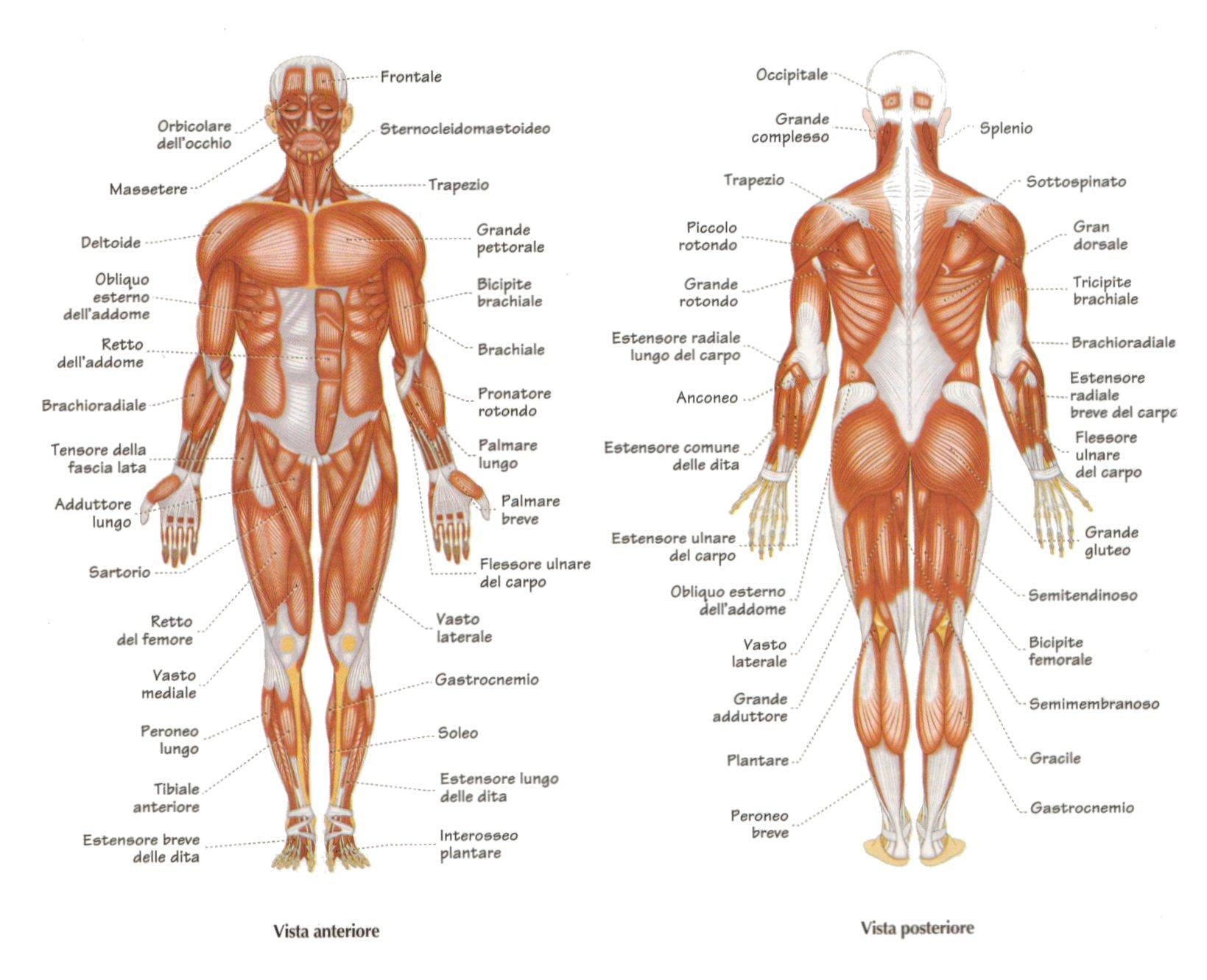 Ricerca: creati muscoli artificiali che si auto-riparano