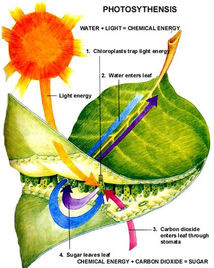 Scienza: scoprire i segreti della fotosintesi per immagazzinare ...